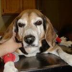 kranken Hund pflegen